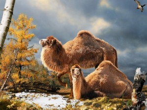 Camels enjoying the high Arctic.