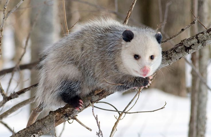 Opossum - more succesful than the terror birds at invasion.