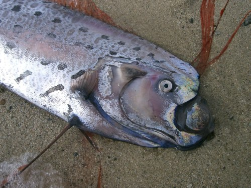 A wild oarfish appears