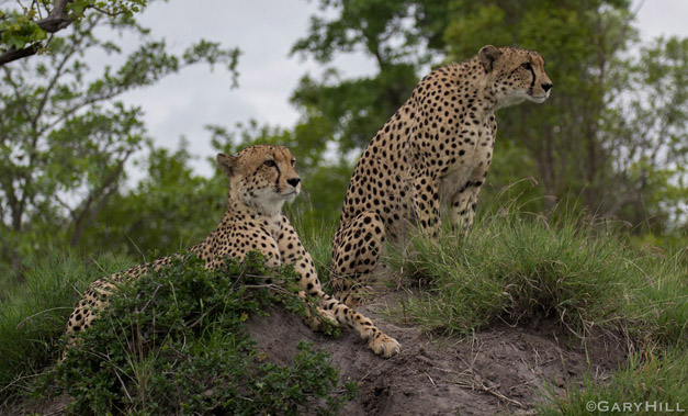 The-two-cheetah-brothers-noticing-some-kudu-in-the-distance-Gary-Hill-blog
