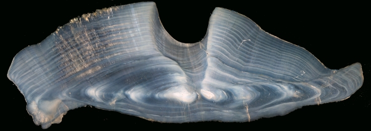 LONG - Otolith 3419 age increments and analysis spots
